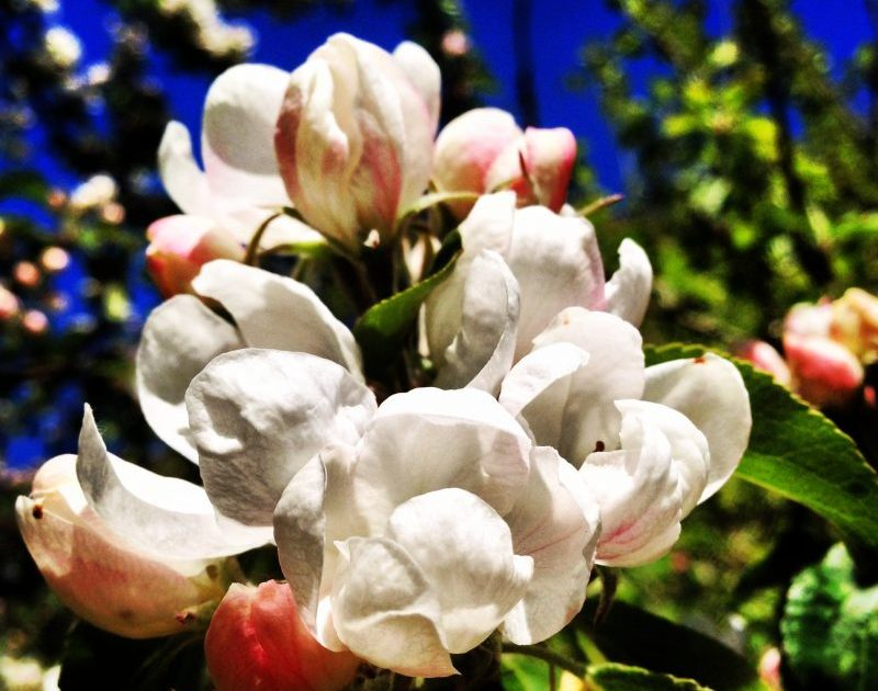 æbleblomst closeup