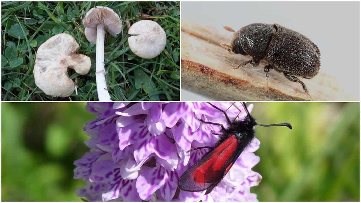 Møn er et mekka for sjældne og truede insekter og svampe